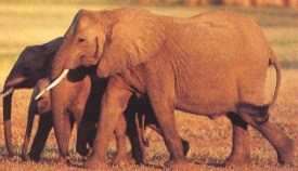Elephants-shoor