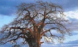Baobab Tree - Tanzania Tourist Board