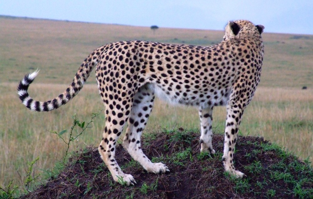 Cheetah shoor