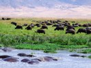 Hippos and Buffalos