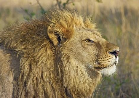 Lions Pack | Gallery | Shoor Travel Kenya |