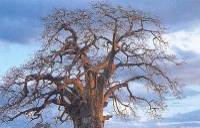 Baobab Tree in Botswana