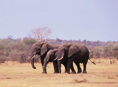 Elephants roaming the African plains