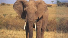 Bull elephant seen during safaris in Africa
