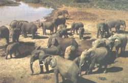 Elephants near a water hole in Chobe