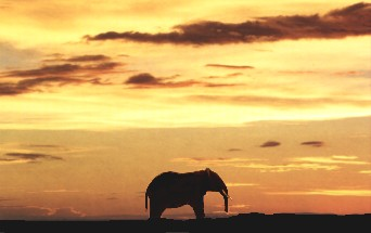Elephant pictured at dawn