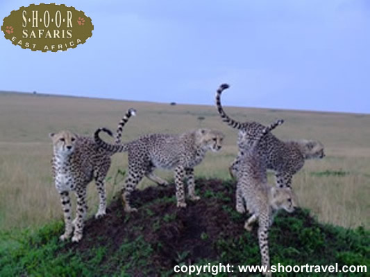 A family of cheetahs-shoor