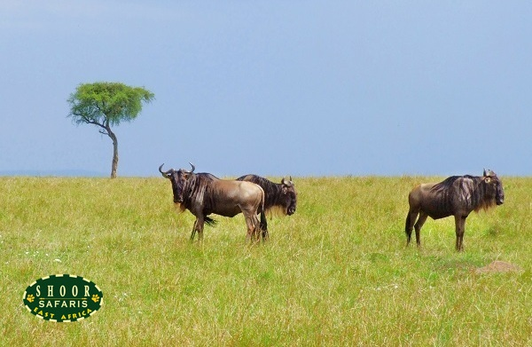 wildebeest in masai mara